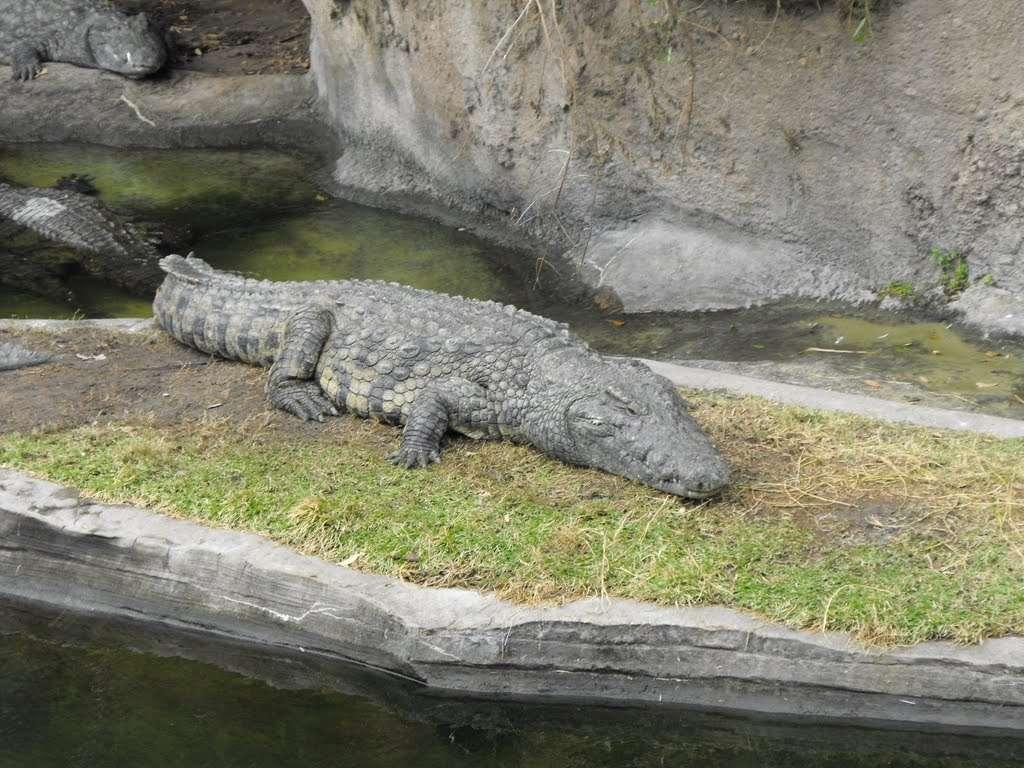 cocodrilos en animal kingdom